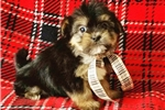 Picture of Thor Male Teacup Morkie Puppy