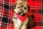Picture of Carly Female Teacup Morkie Puppy