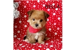 Picture of Bella Female Teacup Morkie Puppy