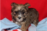 Picture of Tippy Female Teacup Morkie Puppy