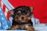 Picture of Mia Female Teacup Morkie Puppy