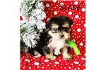 Picture of Slade Male Teacup Morkie Puppy