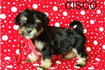 Picture of Cisco Male Teacup Morkie Puppy