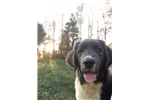 Picture of Bonnie Female Newfoundland Puppy
