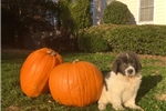 Picture of Pearl Female Newfoundland Puppy