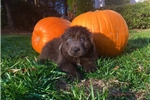 Picture of Goose Male Newfoundland Puppy