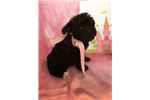 Picture of Lacy, Miniature Schnoodle