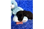 Picture of Buster, Miniature Schnoodle