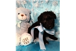 Picture of Denver Male Miniature Schnoodle Puppy