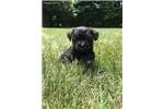 Picture of Bentley, Miniature Schnoodle