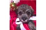 Picture of Willa Female Miniature Schnoodle Puppy