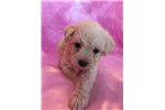 Picture of Sophie, Miniature Schnoodle