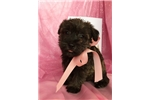 Picture of Bambi, Miniature Schnoodle