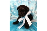 Picture of Phoenix Male Miniature Schnoodle Puppy