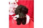 Picture of Ella Female Schnoodle Puppy