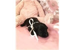 Picture of Carolina Female Miniature Schnoodle Puppy