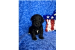 Picture of Tank, Schnoodle
