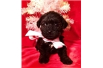 Picture of Rose Female Miniature Schnoodle Puppy