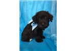 Picture of Tank, Miniature Schnoodle
