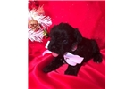 Picture of Lyric Female Miniature Schnoodle Puppy