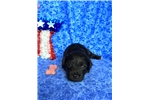 Picture of Bentley, Schnoodle