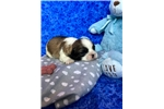 Picture of Scout, Imperial Shih Tzu
