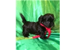 Picture of Cruz Male Imperial Shih Tzu Puppy