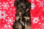 Picture of Bear Male Teacup Yorkipoo Puppy