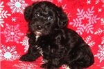 Picture of Carly Female Teacup Yorkipoo Puppy