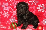 Picture of Herbie Male Teacup Yorkipoo Puppy