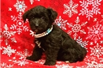 Picture of Jewel Female Teacup Yorkipoo Puppy