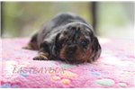 Picture of Miniature smooth black & tan dapple girl