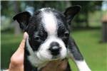 Picture of Penelope -  ACA Boston Terrier female ready July 5