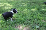 Picture of Patch -  ACA Boston Terrier female ready July 5