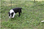Picture of Pixie ACA Boston Terrier female ready July 5