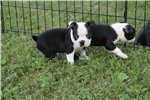 Picture of Pudge- female  Boston Terrier ACA ready July 5