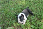 Picture of Paisley -  ACA Boston Terrier female ready July 5