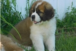 Picture of Female #5 CKC Registered Saint Puppy