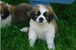 Picture of Female #7 CKC Registered Saint Puppy