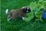 Picture of Female #6 CKC Registered Saint Puppy