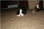 Picture of Bernese Mountain Dog Puppies