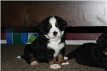 Picture of Bernese Mountain Dog Puppy