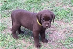 Picture of Champion Line Chocolate Lab Pups!