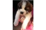 Picture of Adorable AKC St Bernard Puppy!