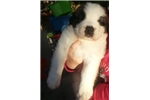 Picture of Handsome AKC St Bernard Puppy!