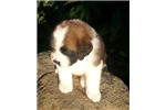 Picture of Gorgeous AKC St Bernard Puppy!