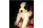 Picture of Sweetheart AKC St Bernard Puppy!