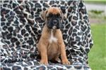 Picture of 100% Euro Boxer Puppy (Emilio)