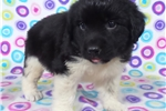 Picture of AKC Newfoundland-Daisy