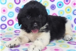 Picture of AKC Newfoundland-Hunter
